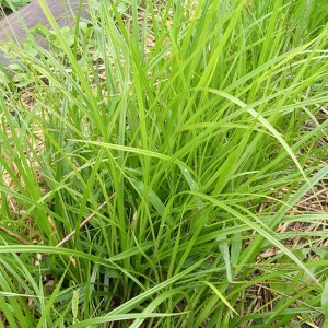 Cyperus Esculentus v Sativus -10 Seeds / Tubers - Tigernut Sedge / Earth Almond