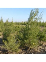 Aspalathus Linearis - 50 Seeds - Rooibos Red Tea or Redbush Tea