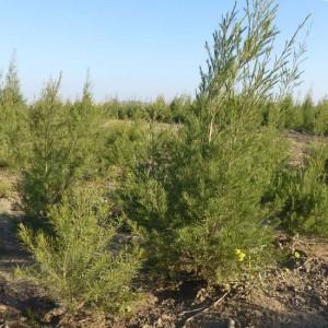 Aspalathus Linearis - 10 Seeds - Rooibos Red Tea or Redbush Tea