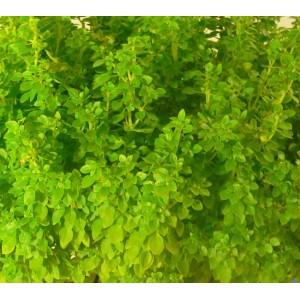 Basil - Dwarf Greek - 1000 Seeds Ocimum Basilicum var. Minimum