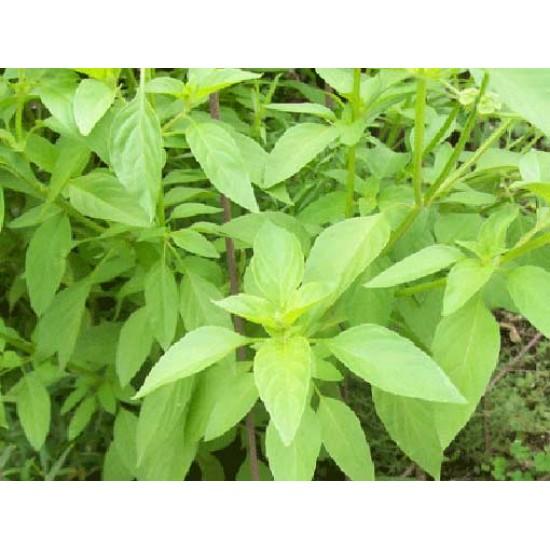 Basil - Mrs Burns Lime - 1000 Seeds - Ocimum Basilicum