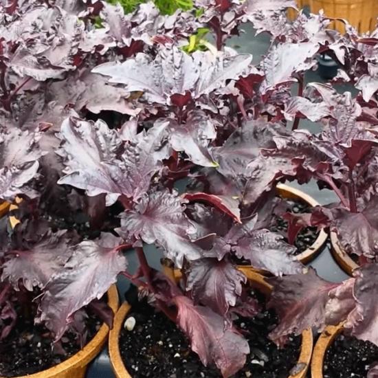 Basil Purple Ruffles - 1000 Seeds - Culinary Herb (Ocimum Basilicum Purpurascens)
