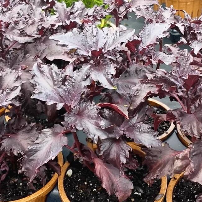 Basil Purple 1000 Seeds Herb Seeds