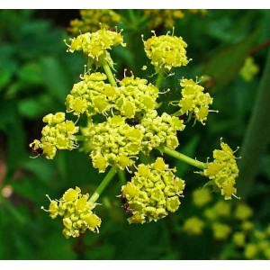Levisticum Officinale - 500 Seeds - Lovage Salad Herb