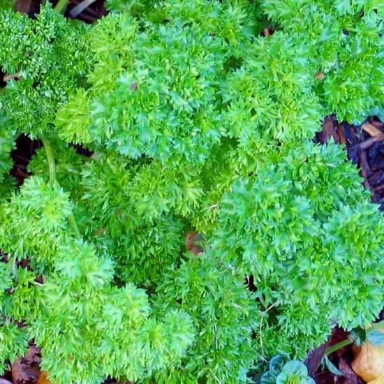 Parsley 'Bravour' - 2000 Seeds - Triple Curled Parsley Petroselinum Crispum