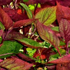 Perilla Frutescens - 300 Seeds - Shiso - Bi Coloured Green / Red
