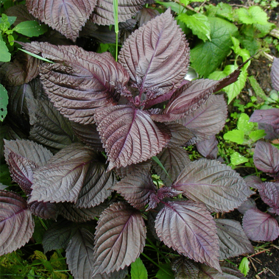 Perilla Frutescens - 300 Seeds - Shiso Red