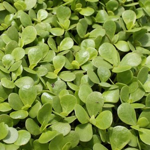 Golden Purslane - 2000 Seeds - Portulaca Oleraceae - Salad Vegetable Herb