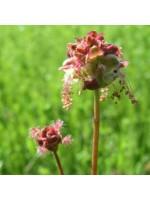 Sanguisorba Minor - 500 Seeds - Salad Herb Burnet