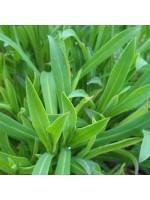 Stridolo - Silene Inflata - 500 Seeds - Stridolo / Sculpit / Bladder Campion