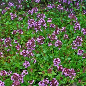 Thymus Serpyllum - 5000 Seeds - Creeping Thyme