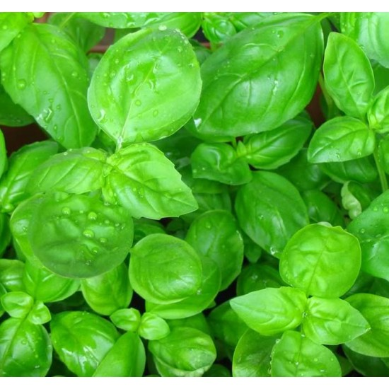Basil - Sweet Genovese - 1000 Seeds - Ocimum Basilicum