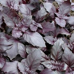 Basil - Dark Opal - 1000 Seeds - Ocimum Basilicum