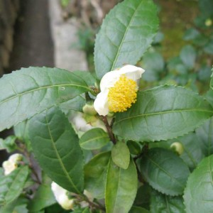 Camellia Sinensis - 50 - Seeds - A Nice Cup Of Tea Plant !!!
