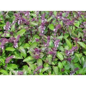 Basil - Cinnamon - 1000 Seeds - Ocimum Basilicum