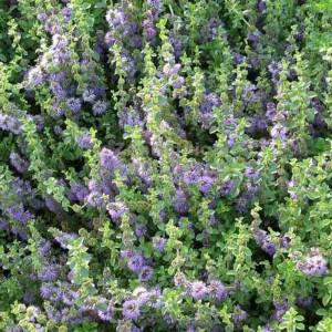 Mentha Pulegium - 1000 Seeds - European Pennyroyal