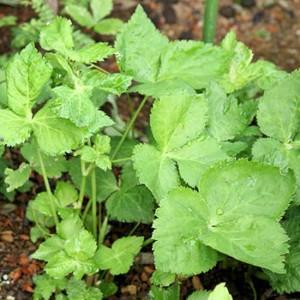 Mitsuba Mashimori - 400 Seeds - Cryptoaenia Japonica - Hornweed Japanese Parsley