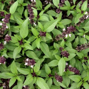 Basil - 'Blue Spice' - 1000 Seeds - Herb Ocimum Basilicum Hybrid (americ x bas)