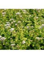 Origanum Vulgare v Hirtum - 3000 Seeds - Classic Greek Oregano Pot Marjoram