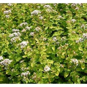 Origanum Vulgare v Hirtum - 2500 Seeds - Classic Greek Oregano Pot Marjoram