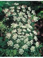 Pimpinella Anisum - Aniseed Plant 300 Seeds