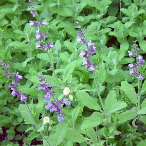 Salvia Officinalis - Garden Sage - 100 Seeds