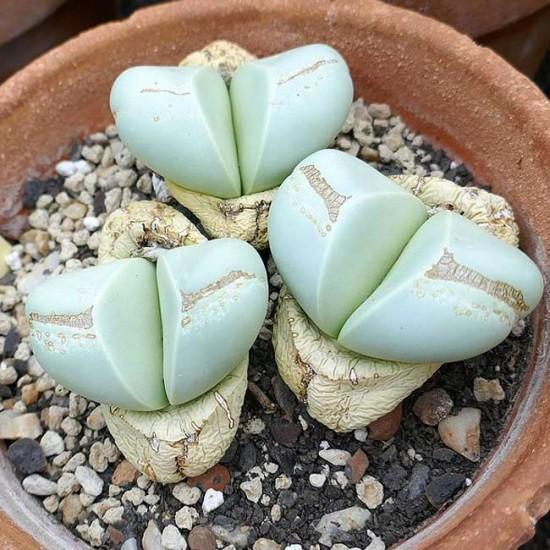 Argyroderma Testiculare - 15 Seeds - Mesembryanthemum Succulent
