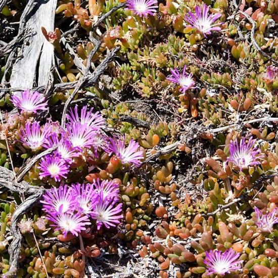 Disphyma Crassifolium - 15 Seeds - Round Leaved Pigface New Zealand Iceplant