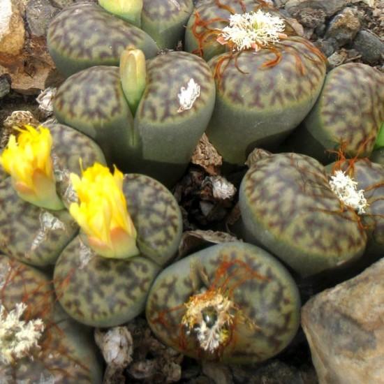Lithops Bromfieldii - 15 Seeds - Living Stones Mesembryanthemum Succulent