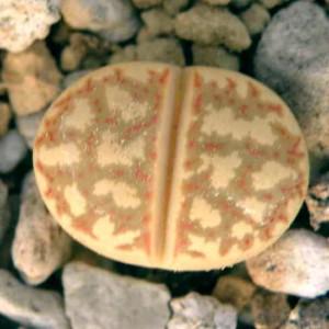 Lithops Dorothea C124 - 15 Seeds - Living Stones Mesemb Succulent