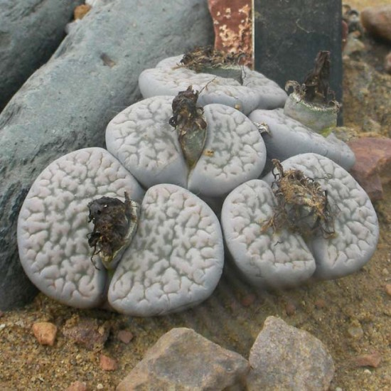Lithops Hookeri v Susannae - 15 Seeds - Living Stones Mesemb Succulent