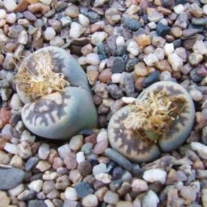 Lithops Karasmontana - v Bella C108 - 15 Seeds - Living Stones Succulent