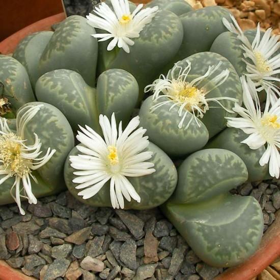 Lithops Marmorata C260 - 15 Seeds - Living Stones Mesemb Succulent