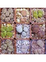 Lithops Assortment -  1000 Seeds - Living Stones Succulent
