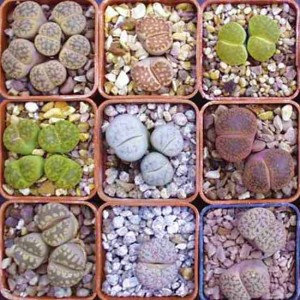 Lithops Mixture - 50 Seeds - Assortment Living Stones Succulent