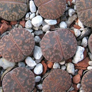Lithops Lesliei 'Pietersburg Form' - 15 Seeds - Living Stones