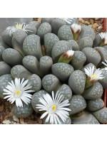 Lithops Marmorata v Elisae - 100 Seeds - Living Stones Succulent Mesemb