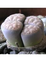 Lithops Schwantesii - 15 Seeds - Living Stones Mesemb Succulent