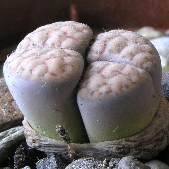 Lithops Schwantesii - 15 Seeds - Living Stones Mesemb Succulent