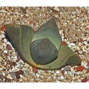 Pleiospilos Bolusii - 10 Seeds - Split Rock Plant Succulent Mesembryanthemum