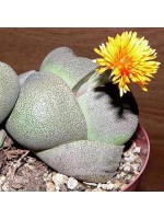 Pleiospilos Nelii - 10 Seeds - Split Rock Plant