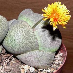 Pleiospilos Nelii - 50 Seeds - Split Rock Plant