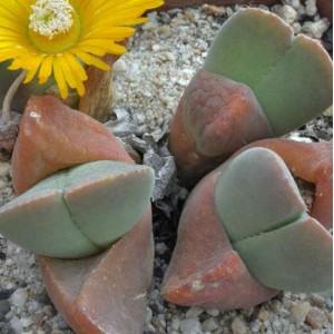 Vanheerdea Divergens - 15 Seeds - South African Mesembryanthemum Succulent