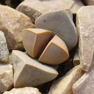Lapidaria Margaretae - 15 Seeds - Karoo Rose - Living Stone Mesembryanthemum
