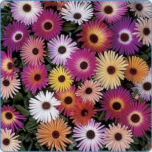 Mesembryanthemum Criniflorum - 4000+ Seeds 'Livingstone Daisy'
