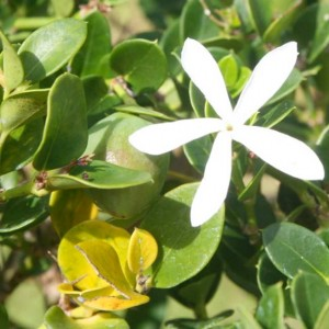 Arctostaphylos Uva-ursi - 25 Seeds - Common Bearberry Kinnikinnick