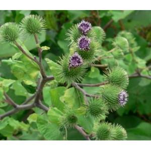 Arcticum Lappa Seeds - Burdock 'Takinogawa' Medicinal