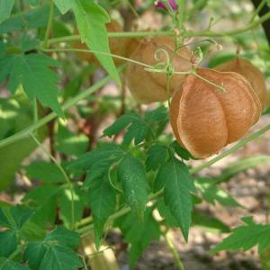 Cardiospermum Halicacabum - 250 Seeds - Balloon Plant / Love in a Puff