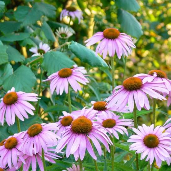 Echinacea Angustifolia Medicinal Cone Flower - 50 Seeds