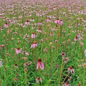 Echinacea Pallida - 50 Seeds - Pale Purple Cone Flower